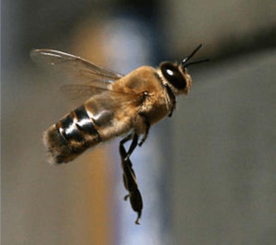 abeille male