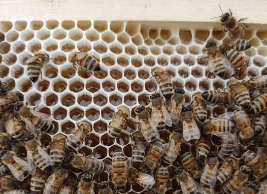 colonie d'abeille
